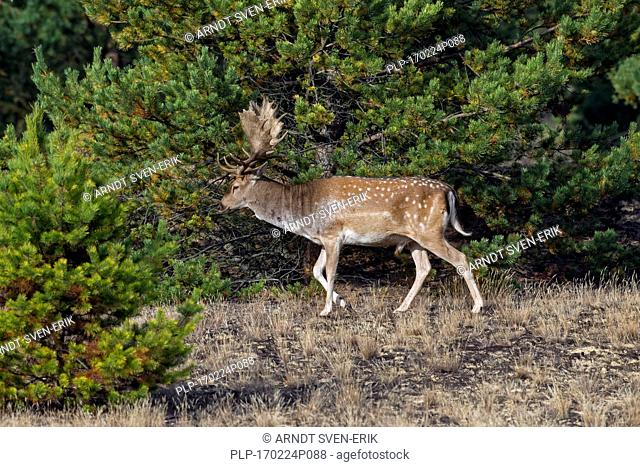 Fallow deer (Dama dama) buck foraging in heathland in autumn