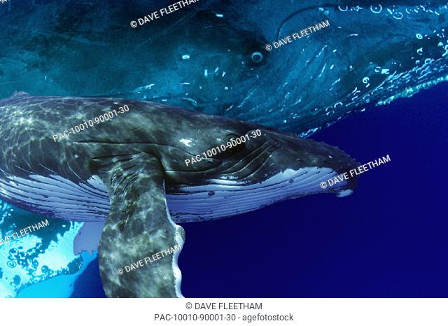 Hawaii, Humpback Whales (Megaptera novaeangliae)