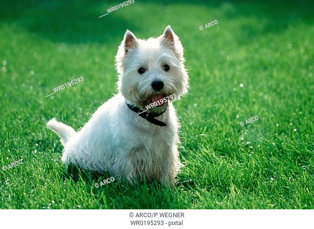 West, Highland, White, Terrier,Westie