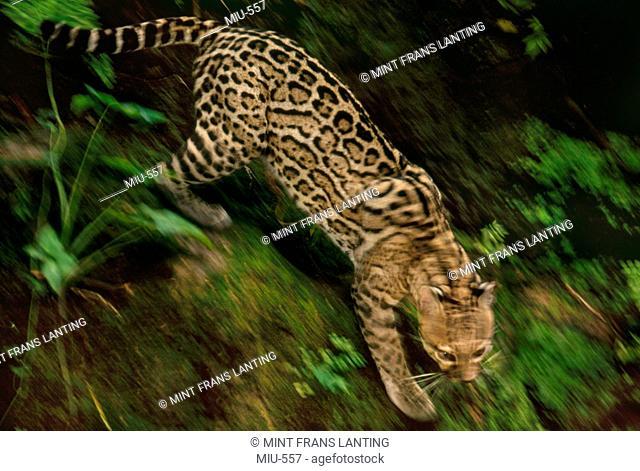 Ocelot running, Leopardus pardalis, Chiapas, Mexico