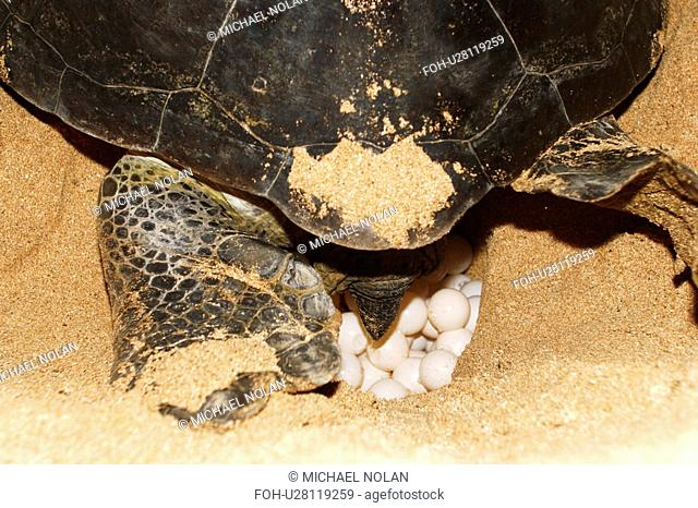 Adult female green sea turtle Chelonia mydas hauled out and laying eggs on Ascension Island, south Atlantic Ocean. There are roughly 3