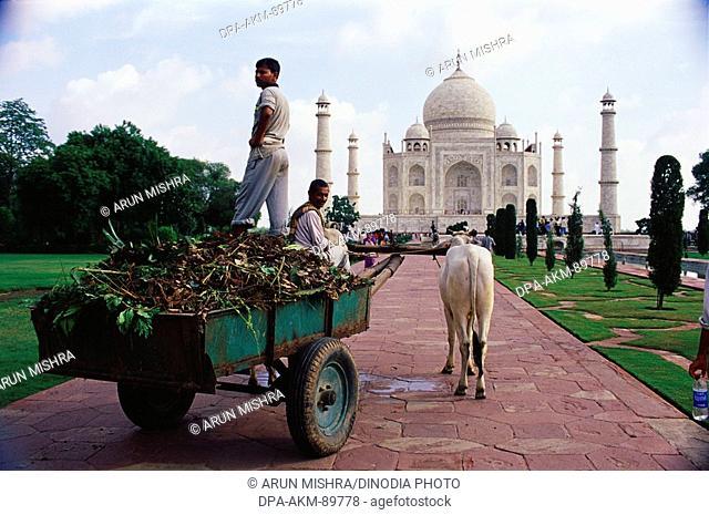 Cow cart at Taj Mahal Seventh Wonder of The World , Agra , Uttar Pradesh , India