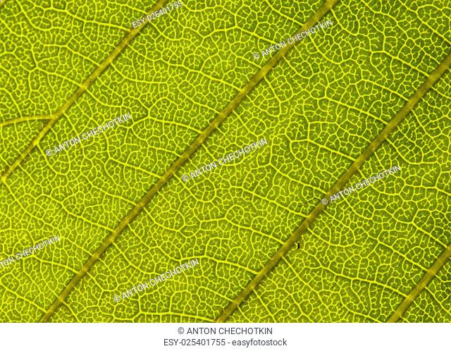 green leaf closeup,could be used as background