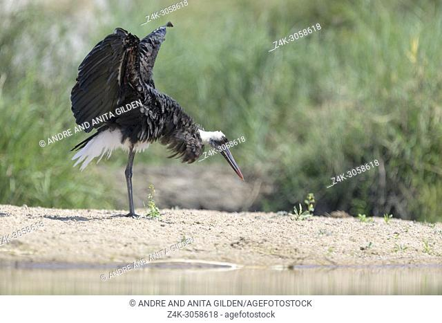 Woolly-necked stork (Ciconia episcopus) shaking his wings, Kruger National Park, South Africa