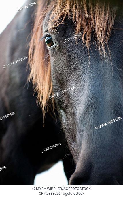 Black horse in Dutch meadow