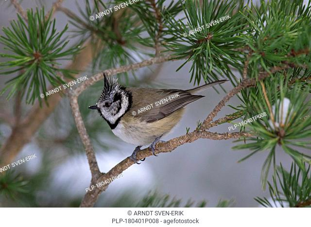 European crested tit (Lophophanes cristatus / Parus cristatus) perched in spruce tree