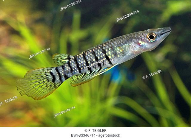 Lined panchax (Aplocheilus lineatus), breed gold