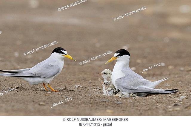 Least Tern (Sterna antillarum), adult warming chicks, Laguna Madre, South Padre Island, Texas, USA