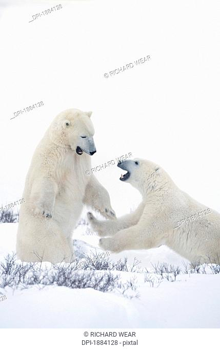 two polar bears play fighting to sharpen their hunting skills as they wait for the ice to freeze over at hudson bay, churchill, manitoba, canada