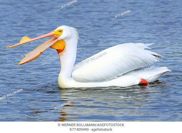 American White Pelican (Pelecanus erythrorhynchos) in breeding plumage, fishing. Sanibel Island, Florida, USA
