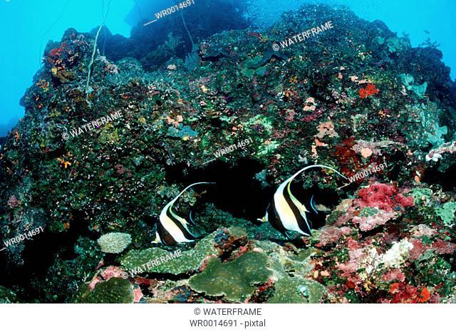 Pair of Moorish Idol, Zanclus cornutus, Pacific, Micronesia, Palau