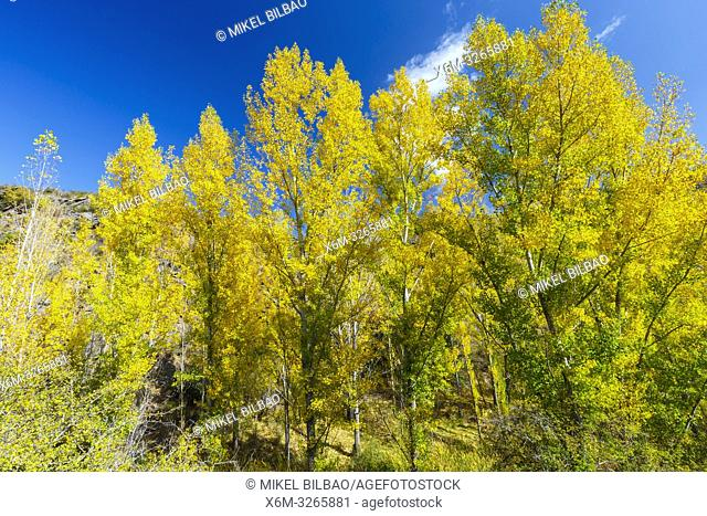 Poplar grove in a gorge in autumn. Chopos en desfiladero en otoño. Cañamares river. Guadalajara, Castilla-La Mancha, Spain, Europe