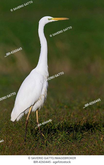 Great Egret (Ardea alba), standing on grass, Lazio, Italy
