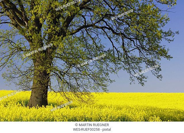 Germany, Mecklenburg-Western Pomerania, Oak tree Quercus spec. in rape field