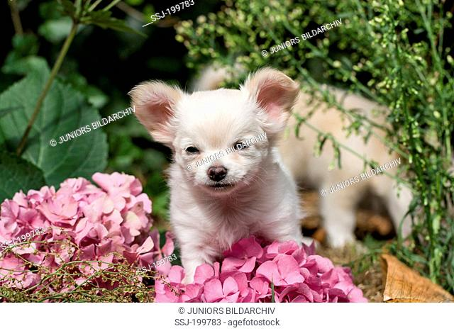 Chihuahua. Longhaired puppy in a garden next to a Hydrangea flowers. Germany