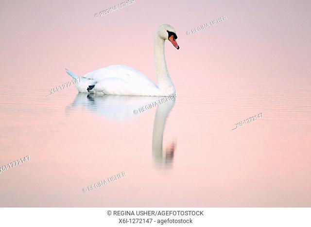 Mute Swan Cygnus olor, in estuary creek at dusk, Holy Island NNR, Northumberland, England