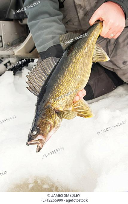Ice fisherman holding a large walleye ready to release back into the hole; Ontario, Canada
