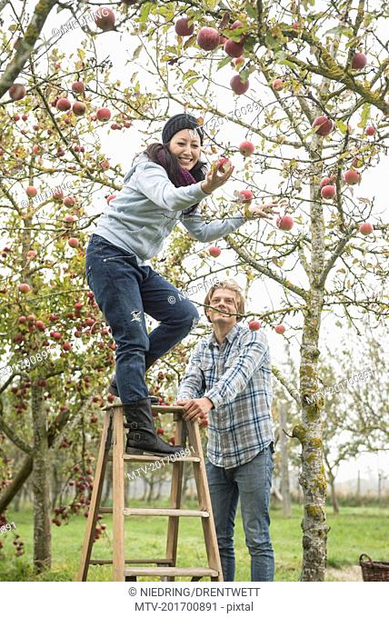 Woman picking apples from the tree with her friend safeguard the step ladder for her, Bavaria, Germany
