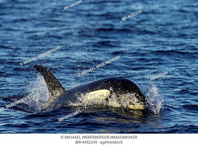 Orca or killer whale (Orcinus orca), Kaldfjorden, Norway