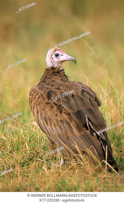 Hooded Vulture (Necrosyrtes monachus). Masai Mara. Kenia