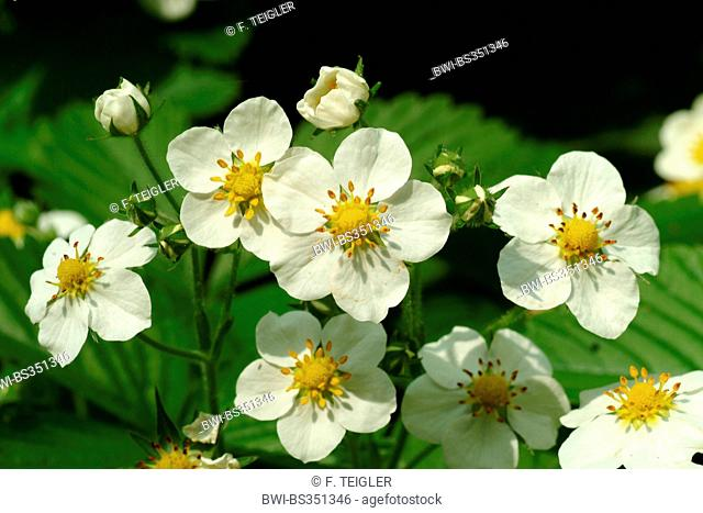 Hautbois strawberry, Musk strawberry (Fragaria moschata), blooming, Germany