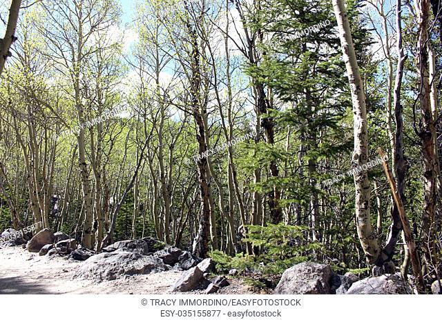 A grove of aspen trees on the Glacier Creek Trail in Rocky Mountain National Park, Colorado, USA