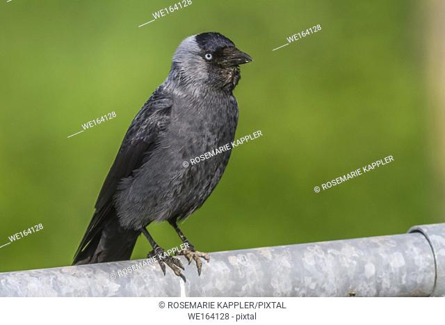 A Jackdaw is searching for fodder. Homburg, Saarland, Germany