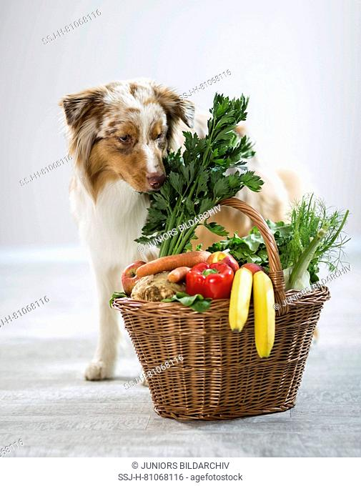 Australian Shepherd sniffing at basket filled with fruit and vegetables. Germany