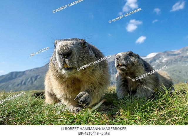 Two alpine marmots (Marmota marmota), High Tauern National Park, Carinthia, Austria