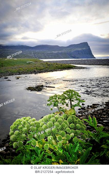 Garden angelica, holy ghost (Angelica archangelica), Horná stream in Hloeðuvík, Hloeduvik, Hornstrandir, Westfjords, Iceland, Europe