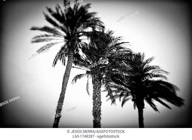 Palms in Cabo de Gata, Almeria, Andalucia, Spain