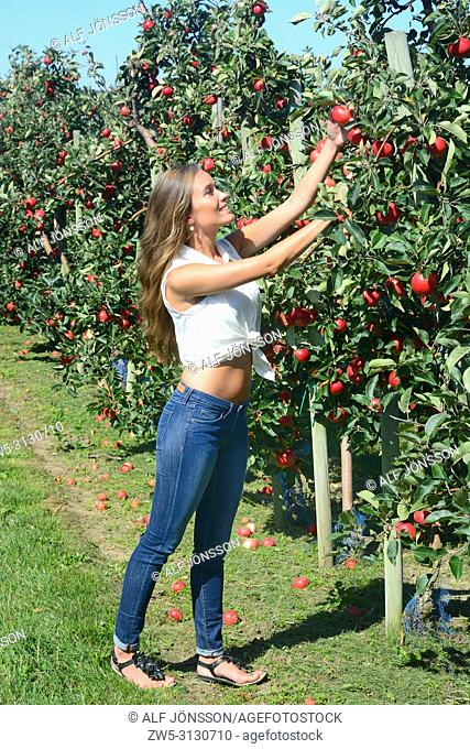 Young smiling woman picking red apples in Österlen fruit district in Rörum, Scania, Sweden