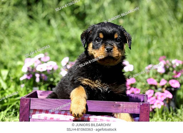 Rottweiler. Puppy (6 weeks old) sitting in a purple crate in a flowering garden. Germany