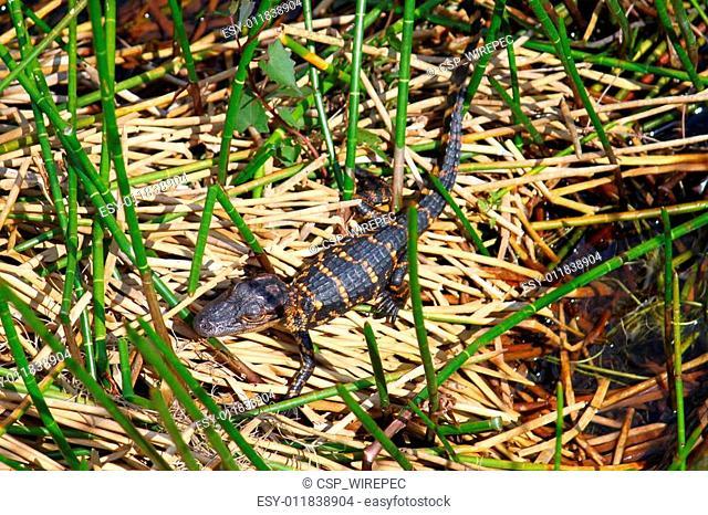 American Alligator - Everglades NP