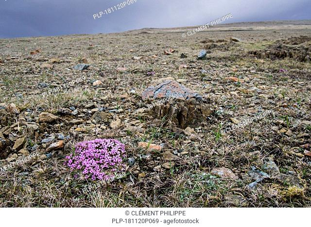 Moss campion / cushion pink (Silene acaulis) in flower on serpentine debris at the Keen of Hamar nature reserve, Unst, Shetland Islands, Scotland, UK