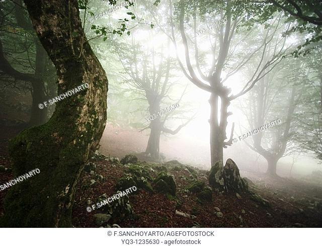 Fog in the beech forest of Monte Cerredo, Castro Urdiales, Cantabria, Spain