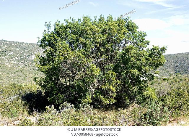Green olive tree or mock privet (Phillyrea latifolia) is a perennial shrub native to Mediterranean Basin. This photo was taken in Garraf Natural Park