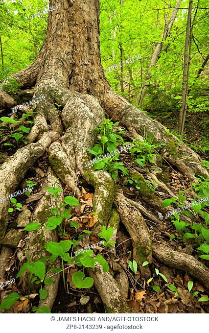 A tree with exposed roots surrounded by lush green foliage in the spring in Ancaster, Ontario, Canada
