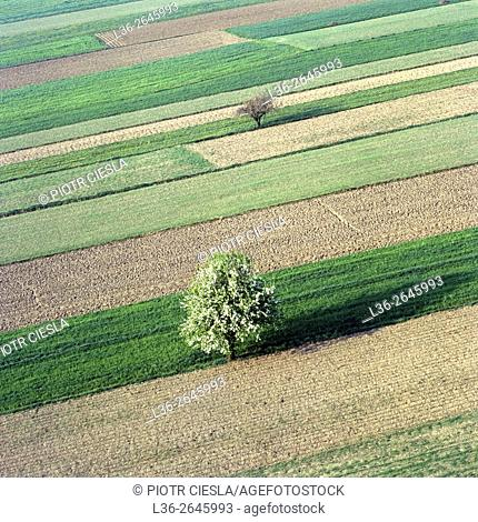 Fields with apple tree in blossom. Poland
