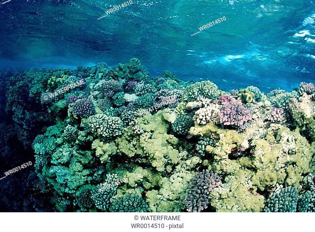 Reeftop with Corals, Red Sea, Sudan
