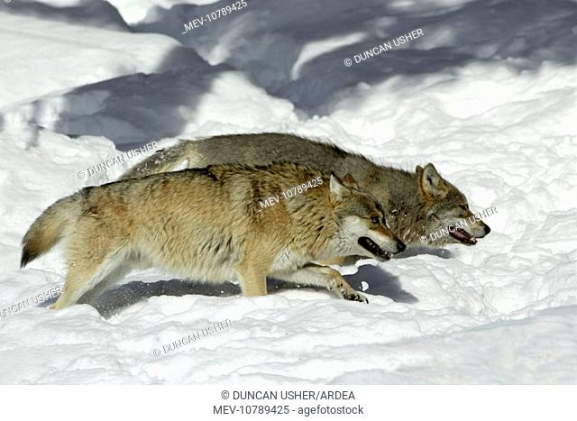 European Wolf - 2 animals hunting in snow, winter (Canis lupus)