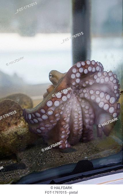 Octopus tentacles pressed up against aquarium glass