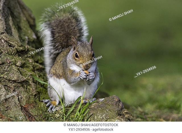Grey Squirrel at the bottom of a tree in a London Park eating a nut