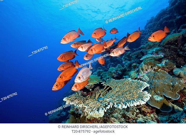 Group of Red Crescent-tail Bigeye, Priacanthus hamrur, Blue Corner, Micronesia, Palau