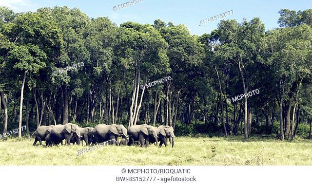 African elephant (Loxodonta africana), emerging from the forest and into the marsh in maasai mara, Kenya, Masai Mara National Park