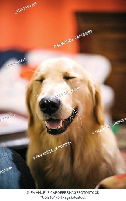 Portrait of golden retriever with eyes closed, it seems that laughs