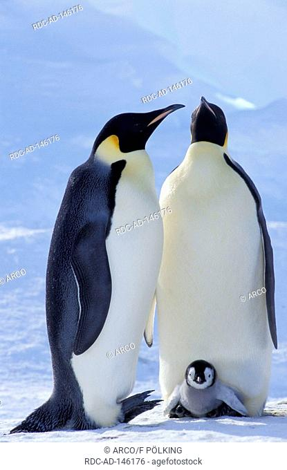 Emperor Penguins pair with chick Dawson-Lambton Glacier Antartica Aptenodytes forsteri