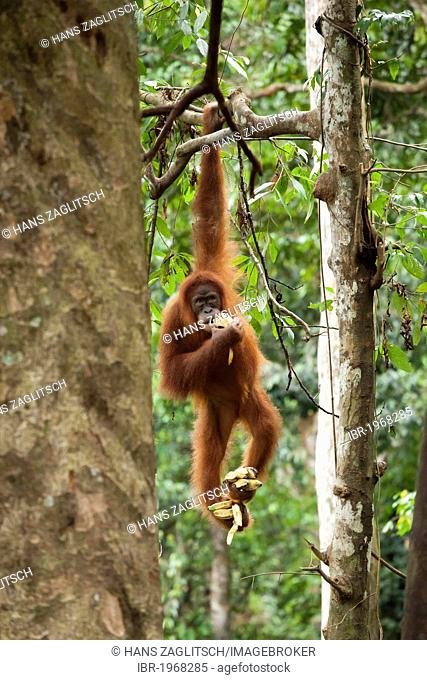 Sumatran orangutan (Pongo abelii) hanging from a tree and eating bananas, in the rainforest of Sumatra, Indonesia, Asia
