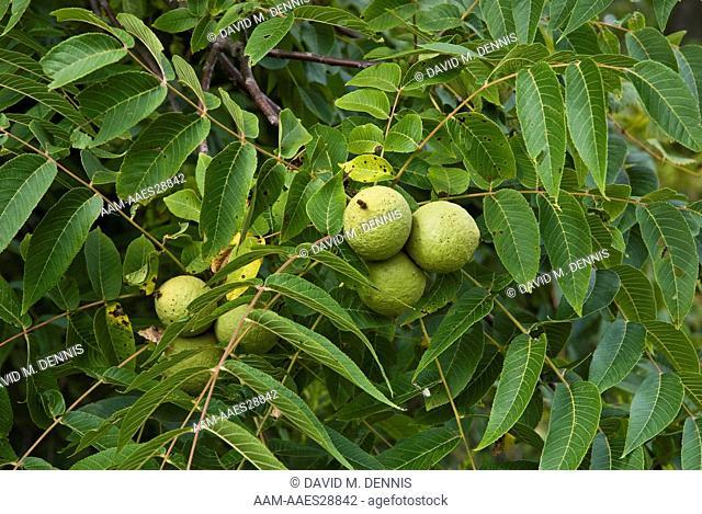 Black Walnuts, Jans nigra, Pickerington Pond Metro Park, Columbus, OH