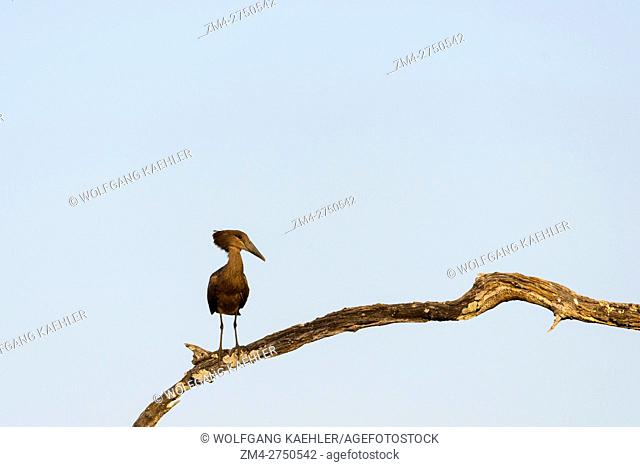 A hamerkop (Scopus umbretta) on a branch in South Luangwa National Park in eastern Zambia